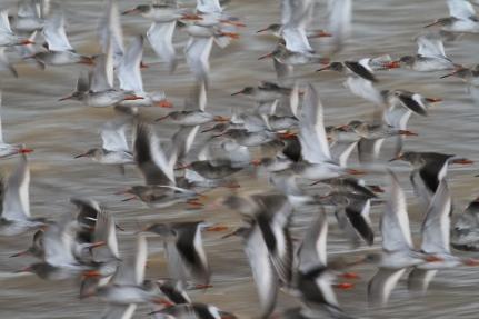 Redshanks fklying - photo